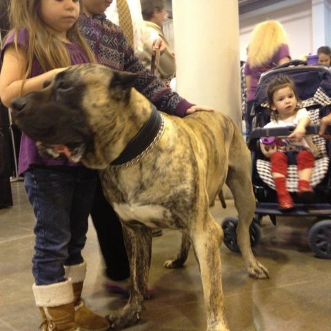 world pedigree dogo canario