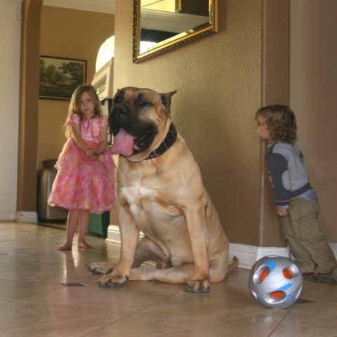 two kids playing with their presa canario pet