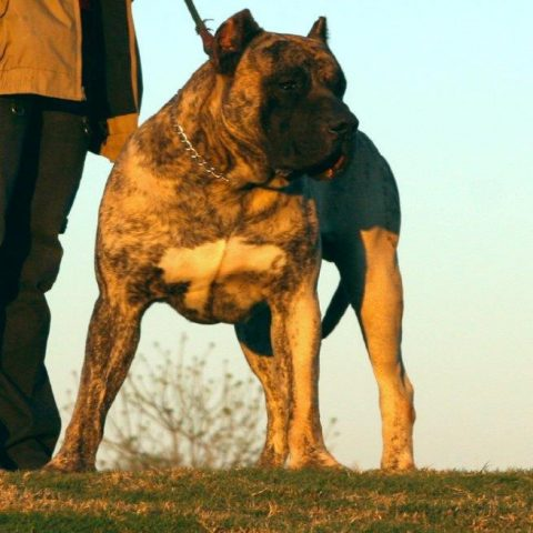steel jaw kennels presa canario -3