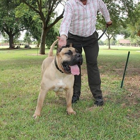 another man playing with his male dogo presa canario