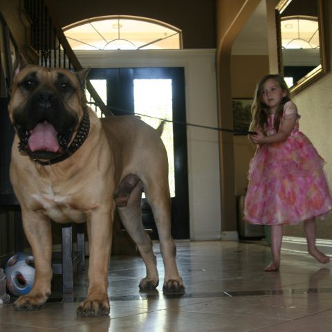 a girl pulling the harness of a male dogo presa canario - 4