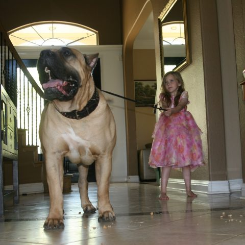 a girl pulling the harness of a male dogo presa canario - 3