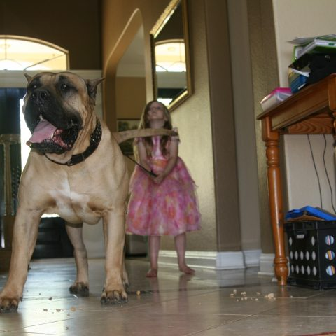 a girl pulling the harness of a male dogo presa canario - 1