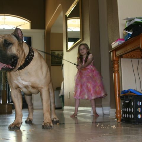 a girl pulling the harness of a male dogo presa canario