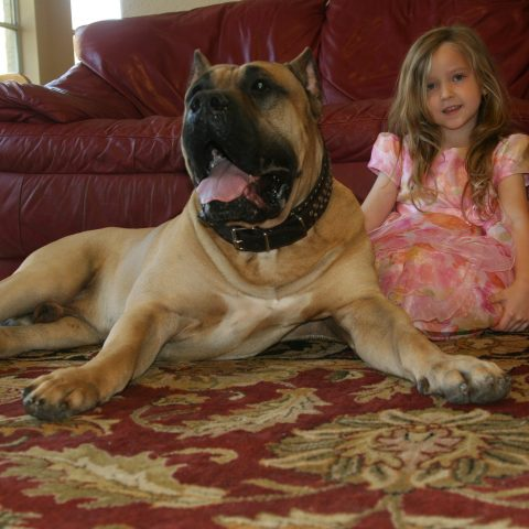 a child and a male presa canario on the floor