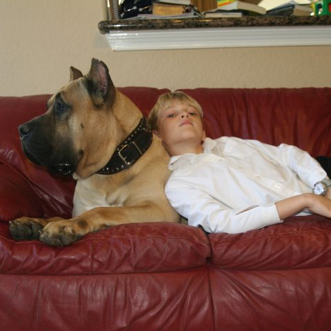 a child leaning on a presa canario